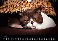Schokoladige Britisch Kurzhaar Katzen (Wandkalender 2019 DIN A4 quer) - Produktdetailbild 7