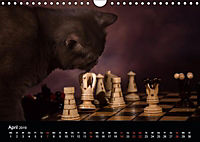 Schokoladige Britisch Kurzhaar Katzen (Wandkalender 2019 DIN A4 quer) - Produktdetailbild 4