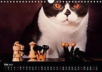 Schokoladige Britisch Kurzhaar Katzen (Wandkalender 2019 DIN A4 quer) - Produktdetailbild 5