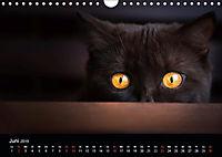 Schokoladige Britisch Kurzhaar Katzen (Wandkalender 2019 DIN A4 quer) - Produktdetailbild 6