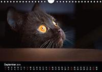 Schokoladige Britisch Kurzhaar Katzen (Wandkalender 2019 DIN A4 quer) - Produktdetailbild 9
