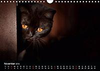 Schokoladige Britisch Kurzhaar Katzen (Wandkalender 2019 DIN A4 quer) - Produktdetailbild 11