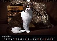 Schokoladige Britisch Kurzhaar Katzen (Wandkalender 2019 DIN A4 quer) - Produktdetailbild 12
