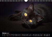 Schokoladige Britisch Kurzhaar Katzen (Wandkalender 2019 DIN A4 quer) - Produktdetailbild 10