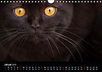 Schokoladige Britisch Kurzhaar Katzen (Wandkalender 2019 DIN A4 quer) - Produktdetailbild 1