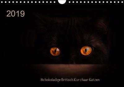 Schokoladige Britisch Kurzhaar Katzen (Wandkalender 2019 DIN A4 quer), Janina Bürger
