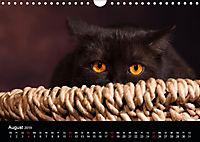 Schokoladige Britisch Kurzhaar Katzen (Wandkalender 2019 DIN A4 quer) - Produktdetailbild 8