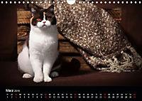 Schokoladige Britisch Kurzhaar Katzen (Wandkalender 2019 DIN A4 quer) - Produktdetailbild 3