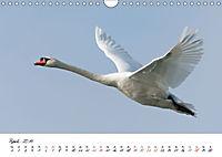Schwäne im FlugCH-Version (Wandkalender 2019 DIN A4 quer) - Produktdetailbild 4