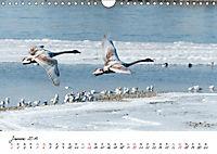 Schwäne im FlugCH-Version (Wandkalender 2019 DIN A4 quer) - Produktdetailbild 1