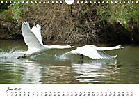 Schwäne im FlugCH-Version (Wandkalender 2019 DIN A4 quer) - Produktdetailbild 6