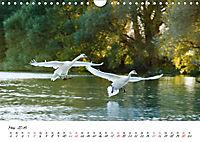 Schwäne im FlugCH-Version (Wandkalender 2019 DIN A4 quer) - Produktdetailbild 5