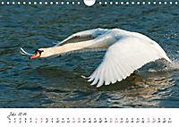 Schwäne im FlugCH-Version (Wandkalender 2019 DIN A4 quer) - Produktdetailbild 7