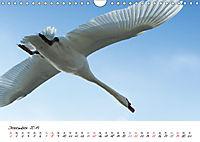 Schwäne im FlugCH-Version (Wandkalender 2019 DIN A4 quer) - Produktdetailbild 12