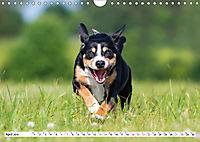 Schweizer Sennenhunde - die Hunde aus den Schweizer Alpen (Wandkalender 2019 DIN A4 quer) - Produktdetailbild 4