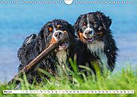 Schweizer Sennenhunde - die Hunde aus den Schweizer Alpen (Wandkalender 2019 DIN A4 quer) - Produktdetailbild 5