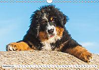 Schweizer Sennenhunde - die Hunde aus den Schweizer Alpen (Wandkalender 2019 DIN A4 quer) - Produktdetailbild 9