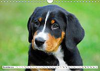 Schweizer Sennenhunde - die Hunde aus den Schweizer Alpen (Wandkalender 2019 DIN A4 quer) - Produktdetailbild 11