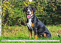 Schweizer Sennenhunde - die Hunde aus den Schweizer Alpen (Wandkalender 2019 DIN A4 quer) - Produktdetailbild 12