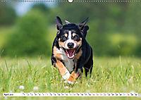 Schweizer Sennenhunde - die Hunde aus den Schweizer Alpen (Wandkalender 2019 DIN A2 quer) - Produktdetailbild 4
