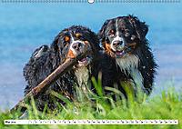 Schweizer Sennenhunde - die Hunde aus den Schweizer Alpen (Wandkalender 2019 DIN A2 quer) - Produktdetailbild 5