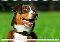 Schweizer Sennenhunde - die Hunde aus den Schweizer Alpen (Wandkalender 2019 DIN A2 quer) - Produktdetailbild 7