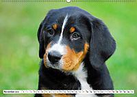 Schweizer Sennenhunde - die Hunde aus den Schweizer Alpen (Wandkalender 2019 DIN A2 quer) - Produktdetailbild 11