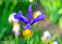 Schwertlilien - Eyecatcher in Parks und Gärten (Wandkalender 2019 DIN A4 quer) - Produktdetailbild 9
