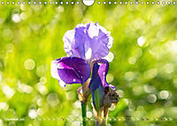 Schwertlilien - Eyecatcher in Parks und Gärten (Wandkalender 2019 DIN A4 quer) - Produktdetailbild 12