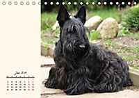 Scottish Terrier - Charmantes Rauhbein (Tischkalender 2019 DIN A5 quer) - Produktdetailbild 6