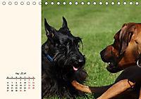 Scottish Terrier - Charmantes Rauhbein (Tischkalender 2019 DIN A5 quer) - Produktdetailbild 5