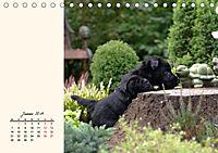 Scottish Terrier - Charmantes Rauhbein (Tischkalender 2019 DIN A5 quer) - Produktdetailbild 1