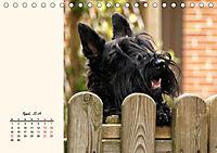 Scottish Terrier - Charmantes Rauhbein (Tischkalender 2019 DIN A5 quer) - Produktdetailbild 4