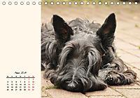 Scottish Terrier - Charmantes Rauhbein (Tischkalender 2019 DIN A5 quer) - Produktdetailbild 3