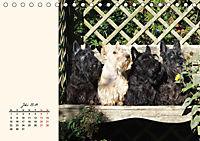 Scottish Terrier - Charmantes Rauhbein (Tischkalender 2019 DIN A5 quer) - Produktdetailbild 7