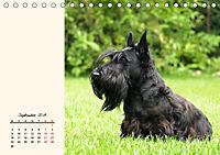 Scottish Terrier - Charmantes Rauhbein (Tischkalender 2019 DIN A5 quer) - Produktdetailbild 9
