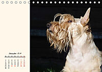 Scottish Terrier - Charmantes Rauhbein (Tischkalender 2019 DIN A5 quer) - Produktdetailbild 12