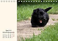 Scottish Terrier - Charmantes Rauhbein (Tischkalender 2019 DIN A5 quer) - Produktdetailbild 8