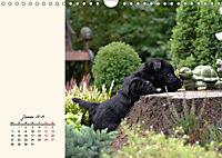 Scottish Terrier - Charmantes Rauhbein (Wandkalender 2019 DIN A4 quer) - Produktdetailbild 1
