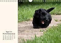 Scottish Terrier - Charmantes Rauhbein (Wandkalender 2019 DIN A4 quer) - Produktdetailbild 8