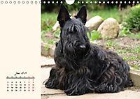 Scottish Terrier - Charmantes Rauhbein (Wandkalender 2019 DIN A4 quer) - Produktdetailbild 6