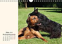 Scottish Terrier - Charmantes Rauhbein (Wandkalender 2019 DIN A4 quer) - Produktdetailbild 10