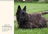 Scottish Terrier - Charmantes Rauhbein (Wandkalender 2019 DIN A3 quer) - Produktdetailbild 2