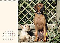 Scottish Terrier - Charmantes Rauhbein (Wandkalender 2019 DIN A3 quer) - Produktdetailbild 11