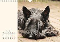 Scottish Terrier - Charmantes Rauhbein (Wandkalender 2019 DIN A4 quer) - Produktdetailbild 3
