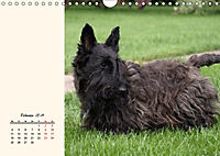 Scottish Terrier - Charmantes Rauhbein (Wandkalender 2019 DIN A4 quer) - Produktdetailbild 2