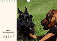 Scottish Terrier - Charmantes Rauhbein (Wandkalender 2019 DIN A4 quer) - Produktdetailbild 5