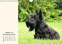 Scottish Terrier - Charmantes Rauhbein (Wandkalender 2019 DIN A4 quer) - Produktdetailbild 9