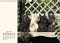 Scottish Terrier - Charmantes Rauhbein (Wandkalender 2019 DIN A4 quer) - Produktdetailbild 7