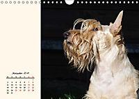 Scottish Terrier - Charmantes Rauhbein (Wandkalender 2019 DIN A4 quer) - Produktdetailbild 12